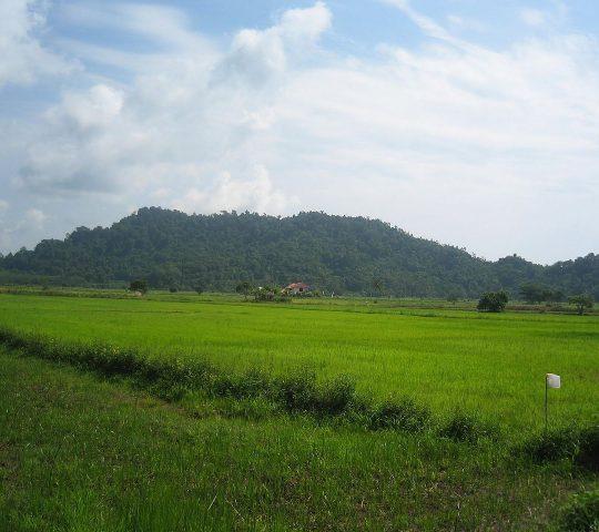The Parit Bugis Rice Fieldsdestinasi wisata sawah kampung parit bugis yang indah dan hijau dengan adanya padi