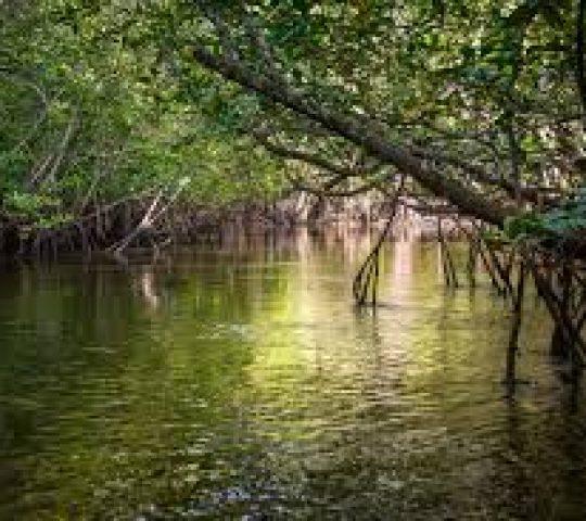 Hutan Mangrove Sebong